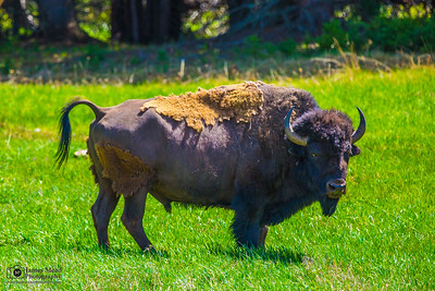 American Bison Bull, Yellowstone National Park
