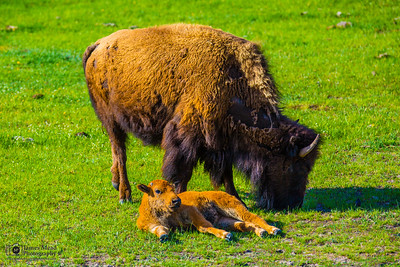 American Bison Cow and Calf, Yellowstone National Park