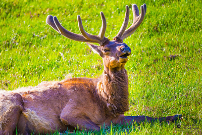 Bull Elk in the spring; Yellowstone National Park
