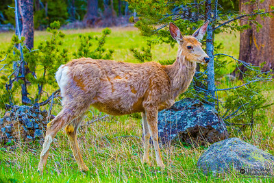 Mule Deer, Yellowstone National Park