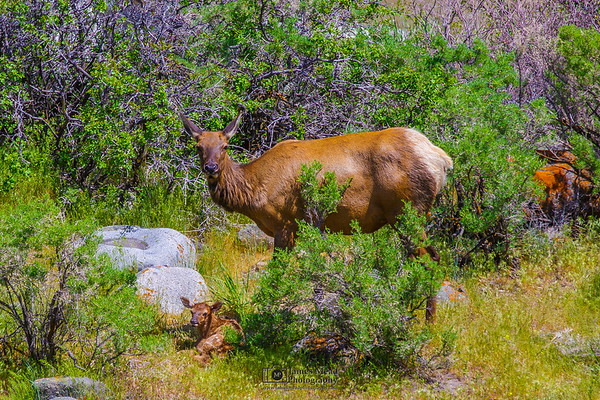 """""""Mother and Newborn,"""" Yellowstone National Park"""