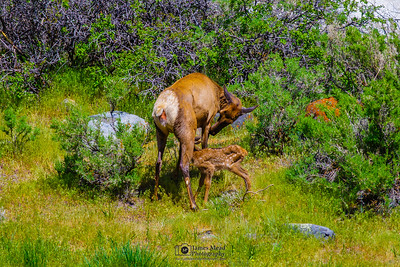 """Mother and Newborn,"" Yellowstone National Park"