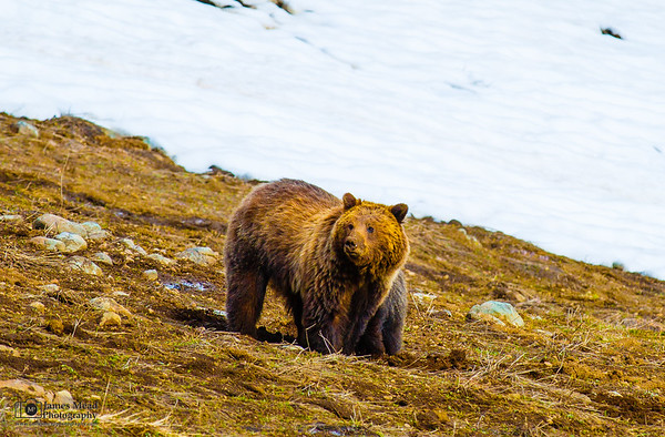 Grizzly Bear mother and cub, Yellowstone National Park