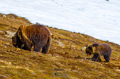 Grizzly Sow and her Cub, Yellowstone National Park