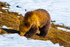 Grizzly Bear in the Spring, Yellowstone National Park