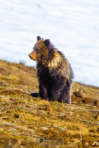 Grizzly Bear Cub in the Springtime, Yellowstone National Park