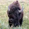 Bison - Yellowstone National Park, Wyoming