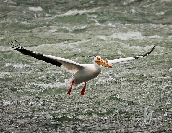 _JMG1567: Pelican at LeHardy Rapids.