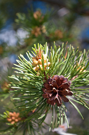Evergreen cone.