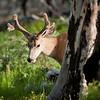 Mule Deer on Butte Overlook.