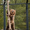 Grizzly at recovery center.  I think this shot shows the hight of one of these animals when reared up.