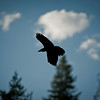 Raven flying over the parking lot at Tower Falls. (I think it was a Raven but it could have been a crow)