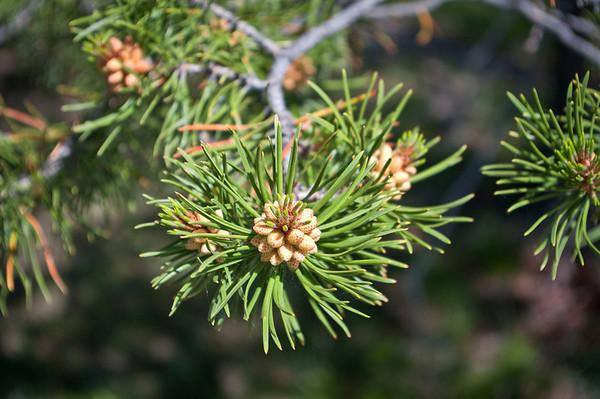 Evergreen Tree Seed.