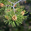 Evergreen Tree Seed.