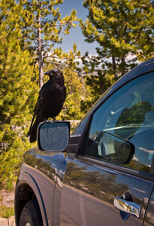 Ravens located throughout the park build their nests on cliffs and talus slopes.  They are very assertive.