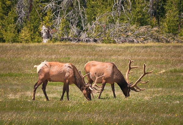 Elk in velvet.  The velvet membrane surrounding the antlers will be scrapped off in late summer prior to the rutting season.