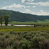 Proghorn and buffalo in the Lamar Valley.