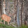 Mule Deer at Butte Overlook.