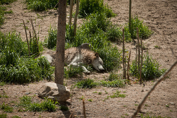Alaskan Wolf at the Discovery Center taking a nap.