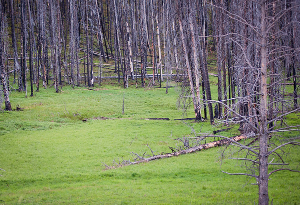 The east entrance area of Yellowstone was hit by a fire back in 2007.  This is part of the burn and regrowth.