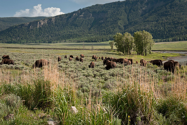 One of several herds in the valley.