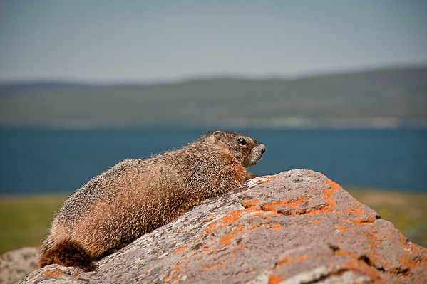 The Yellowbellied Marmot.