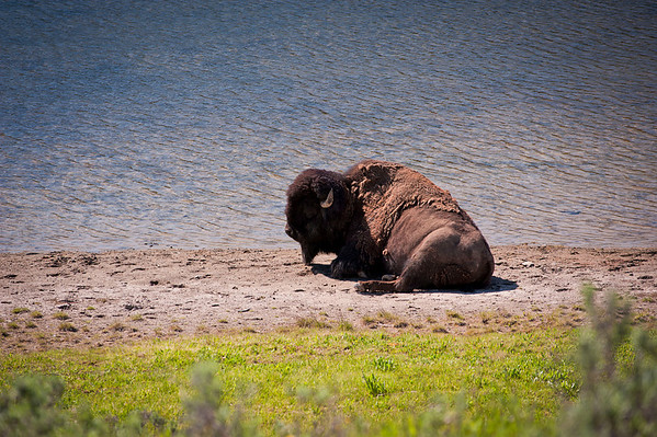 """While hiking """"Storm Point Trail"""", we came upon his Buffalo lounging by a spur of Yellowstone Lake."""