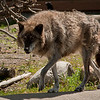 Alaskan Wolf at the Discovery Center.