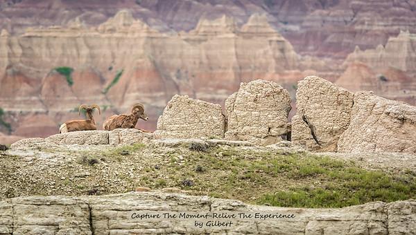 Big Horn Sheep at the Badlands