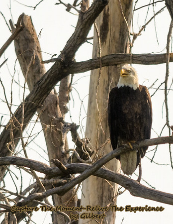 Eagle next on the side of the road at Hamburg, Iowa.