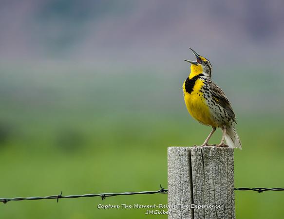Meadowlark at Badlands.