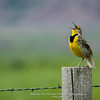 Meadowlark at Badlands.