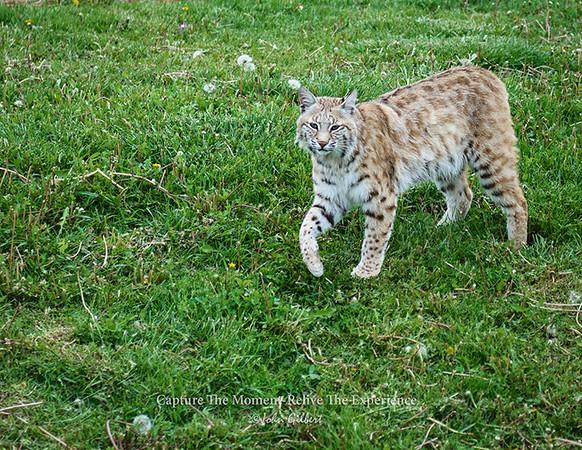 Bobcat at Bear Country