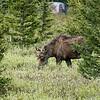 Moose at Silver Gate, Montana