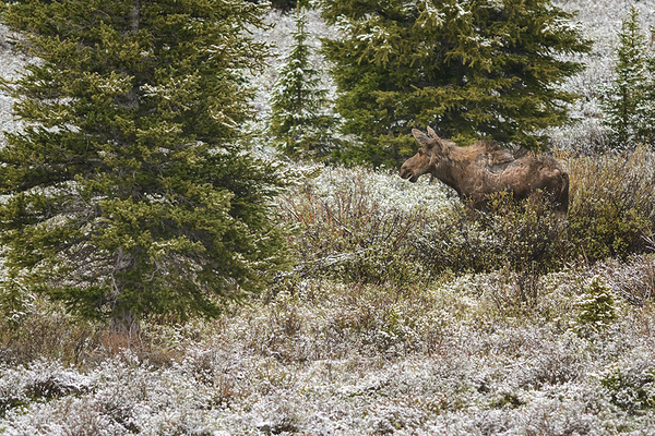 Moose at Big Horn Mountains