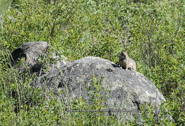 Nucita Ground Squirrel