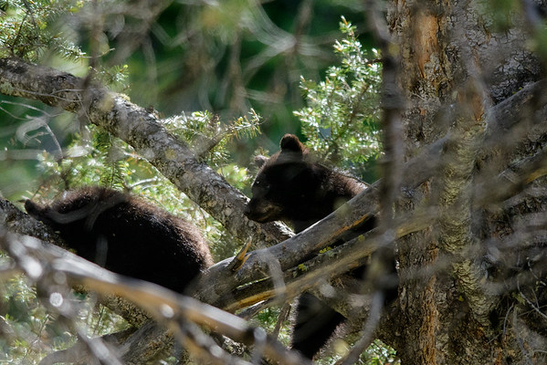 Black Beer cubs in a tree.