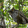 Great Horn Owl at Mammoth Springs