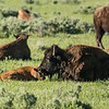 Bison (Buffalo) and calf in Lamar Valley