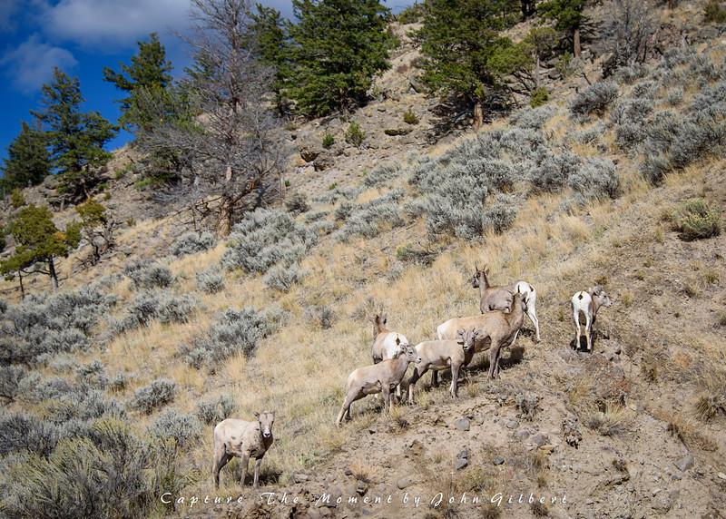 Big Horn Ewes