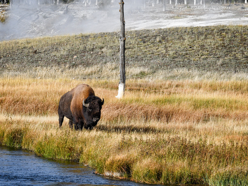 American Bison #2