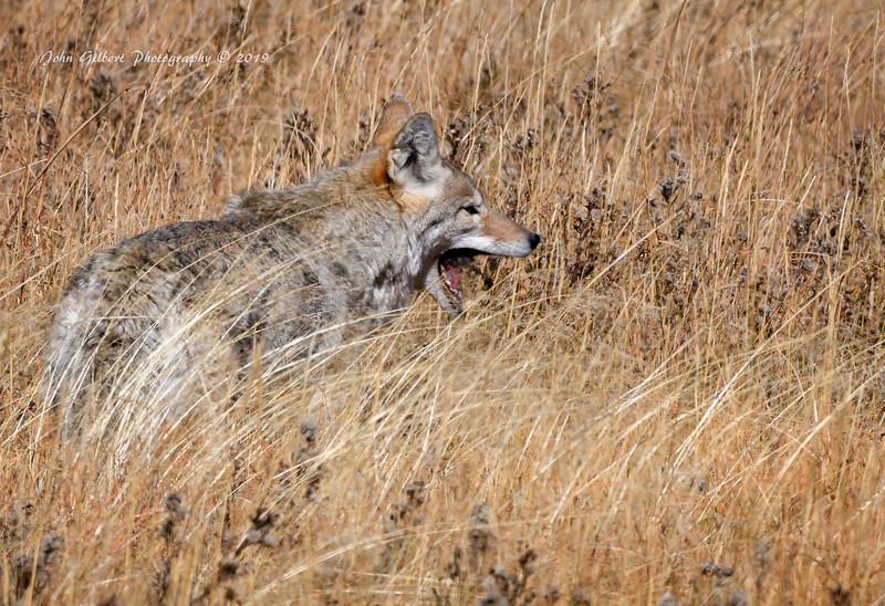 Coyote #1