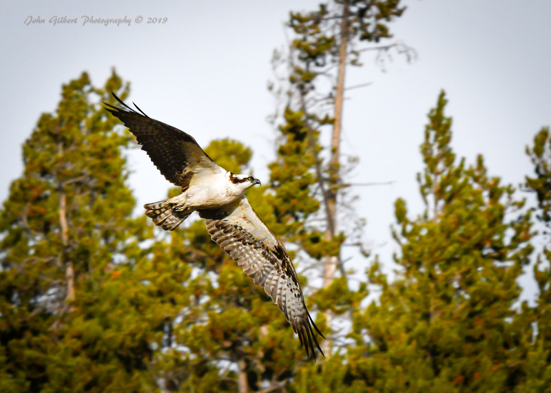 Osprey #1