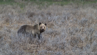 That is a muddy face...seems to be a 2-3 year old grizzly bear.