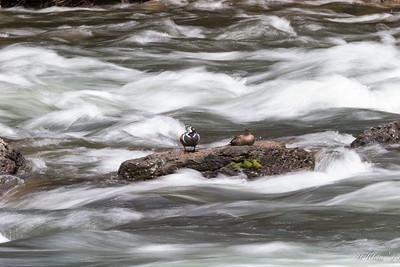 OK,  in the park and at LeHardy Rapids on the Yellowstone River, home of a few pair of the elusive Harlequin Ducks...all was perfect until the bird moved!?
