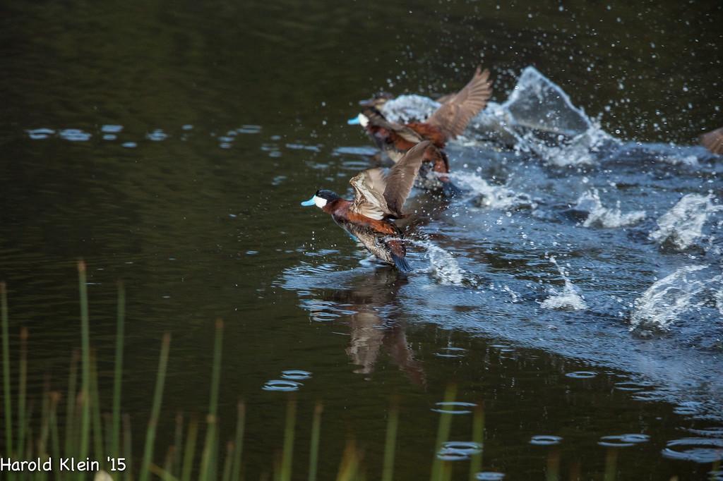 Ruddy Ducks chasing each other...