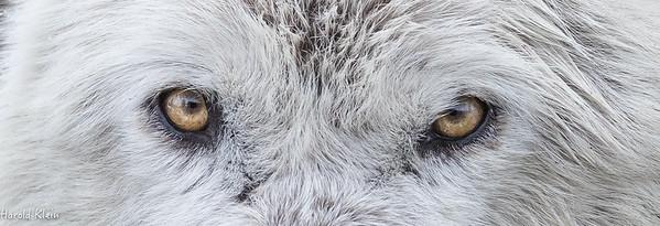 White Wolf...