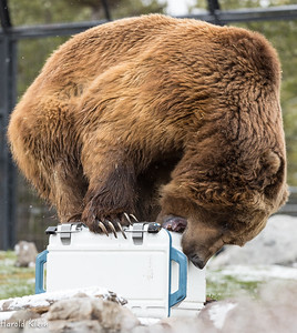That's 970lbs of Alaskan Brown Bear standing on that cooler!!!