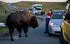 Too Close for Comfort - Yellowstone National Park - Photo by Pat Bonish