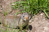 Curious Little Unita Ground Squirrel in Yellowstone National Park - Photo by Cindy Bonish